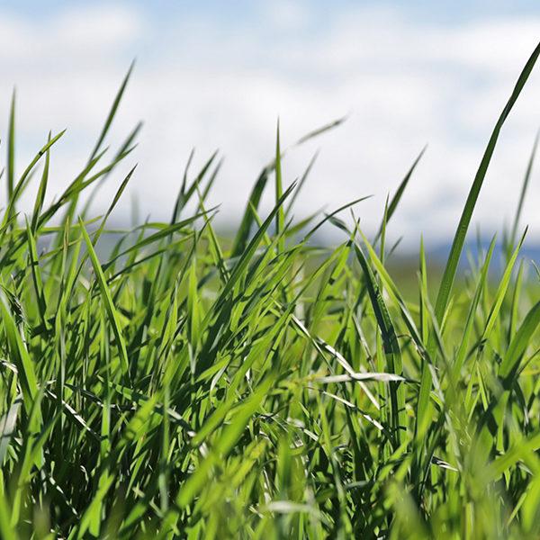 Cocksfoot grass 1