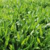 Cocksfoot grass 4