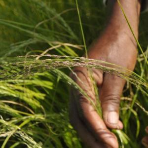 Eragrostis Teff grass 1