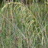 Eragrostis Teff grass 2