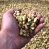 Faba Bean Protein 6