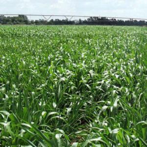 Forage Sorghum grass 1
