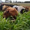 Forage Sorghum grass 3