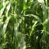 Forage Sorghum grass 6