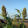 Grain Sorghum grass 2