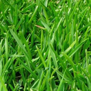 Kikuyu grass 1