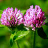 Red Clover grass 1