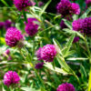 Red Clover grass 3