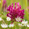 Red Clover grass 4