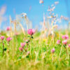 Red Clover grass 5