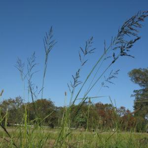 Weeping Love Grass 1