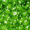White Clover grass 3