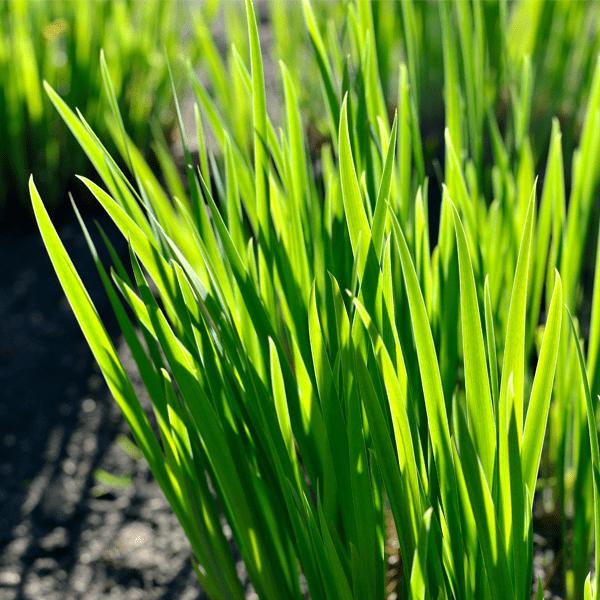 Bahia Grass 1