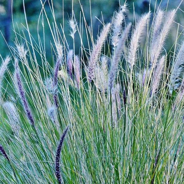 Blue-Buffalo-Grass_1