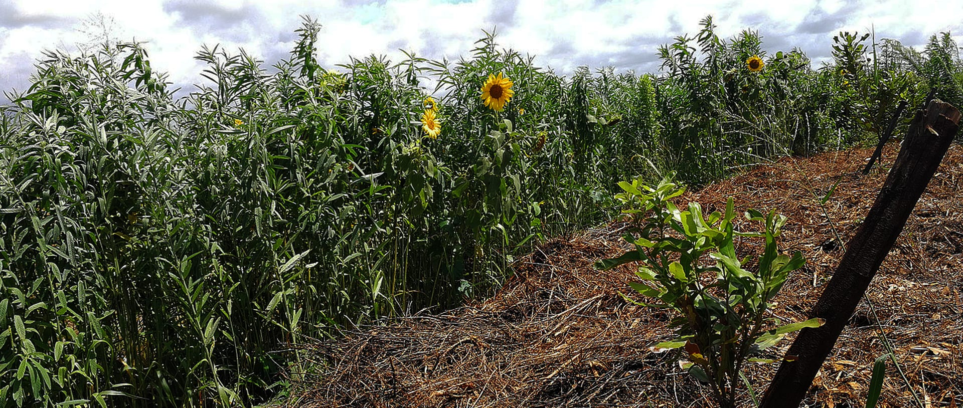 Cover Crops5