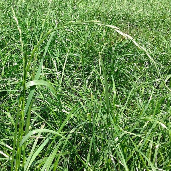Perennial-Ryegrass_1
