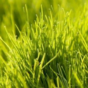 Rye Grass 1