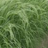 Teff Grass 1