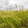 Teff Grass 3