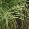 Teff Grass 4