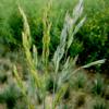 Teff Grass 5