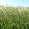 Teff Grass 6