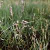Weeping Lovegrass Grass 2