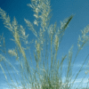 Weeping Lovegrass Grass 3