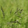 Weeping Lovegrass Grass 4