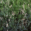 Weeping Lovegrass Grass 5