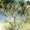 Weeping Lovegrass Grass 6