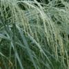 White Buffalo Grass 2