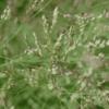 White Buffalo Grass 3