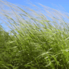 White Buffalo Grass 4